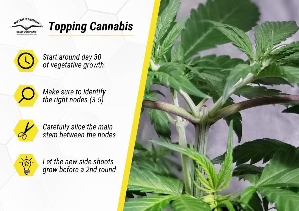 Basic tips for topping cannabis