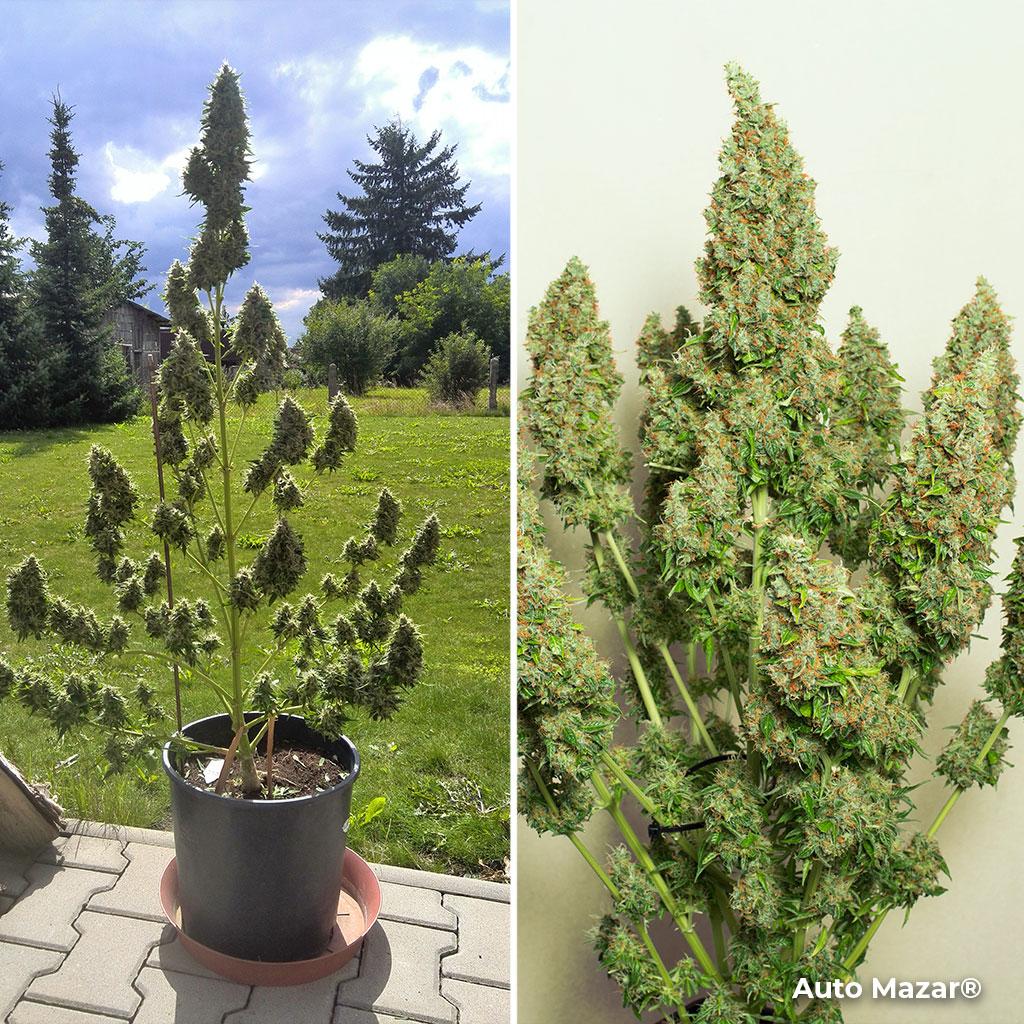 Auto Mazar feminised autoflowring cannabis plant indoor/outdoor