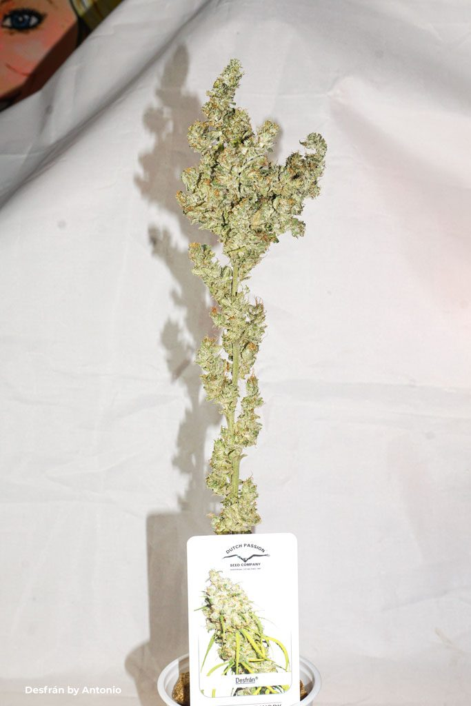 Desfran dried cured buds dutch passion foxtails sativa dominant flowers