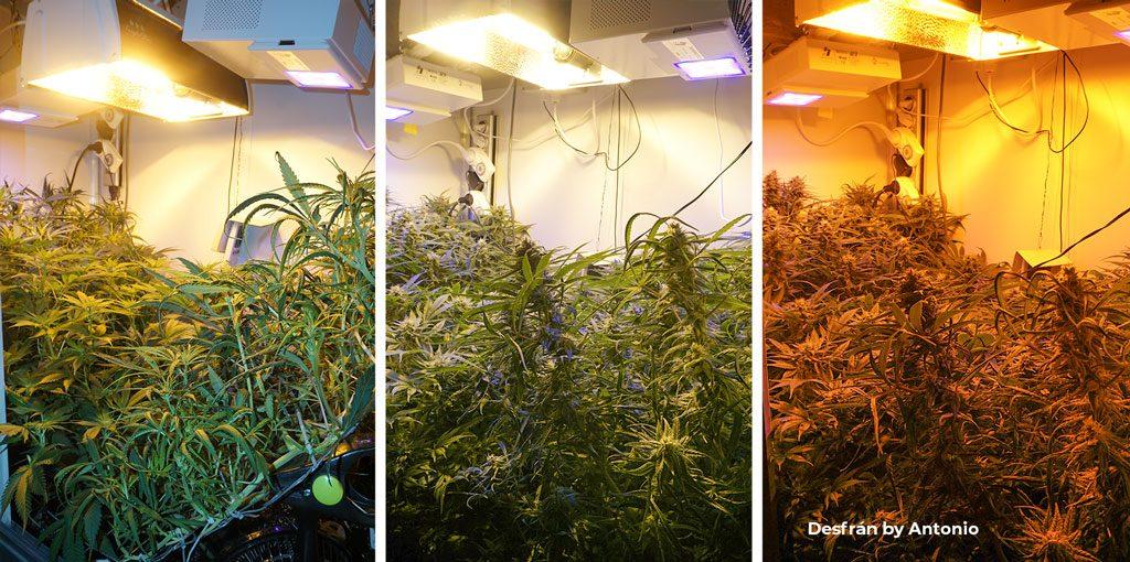 Desfran feminized sativa dominant seeds cannabis grow review by antonio