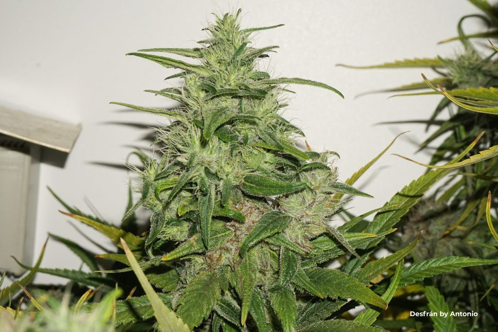 Desfran sativa dominant buds foxtailing big yield large flowers cannabis weed