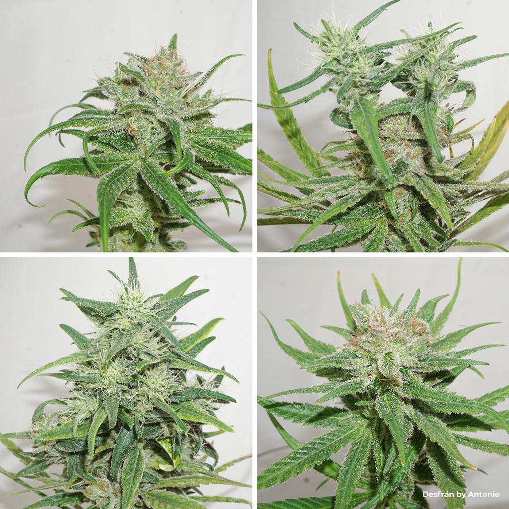 Desfran sativa dominant cannabis bud structure foxtail second internode
