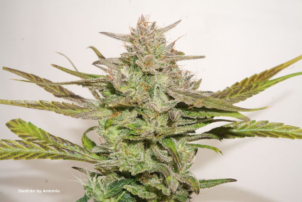 Desfran sativa dominant flower frosty bud resin trichomes colourful
