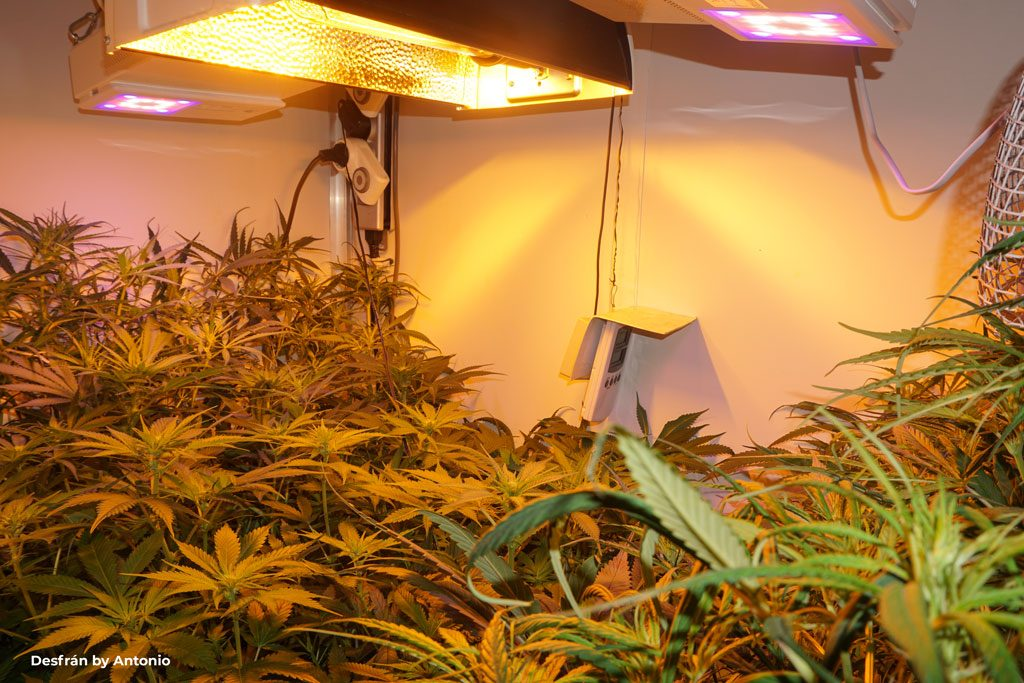 Desfran sativa dominant weed led hps grow indoor halfpipe scrog high yield