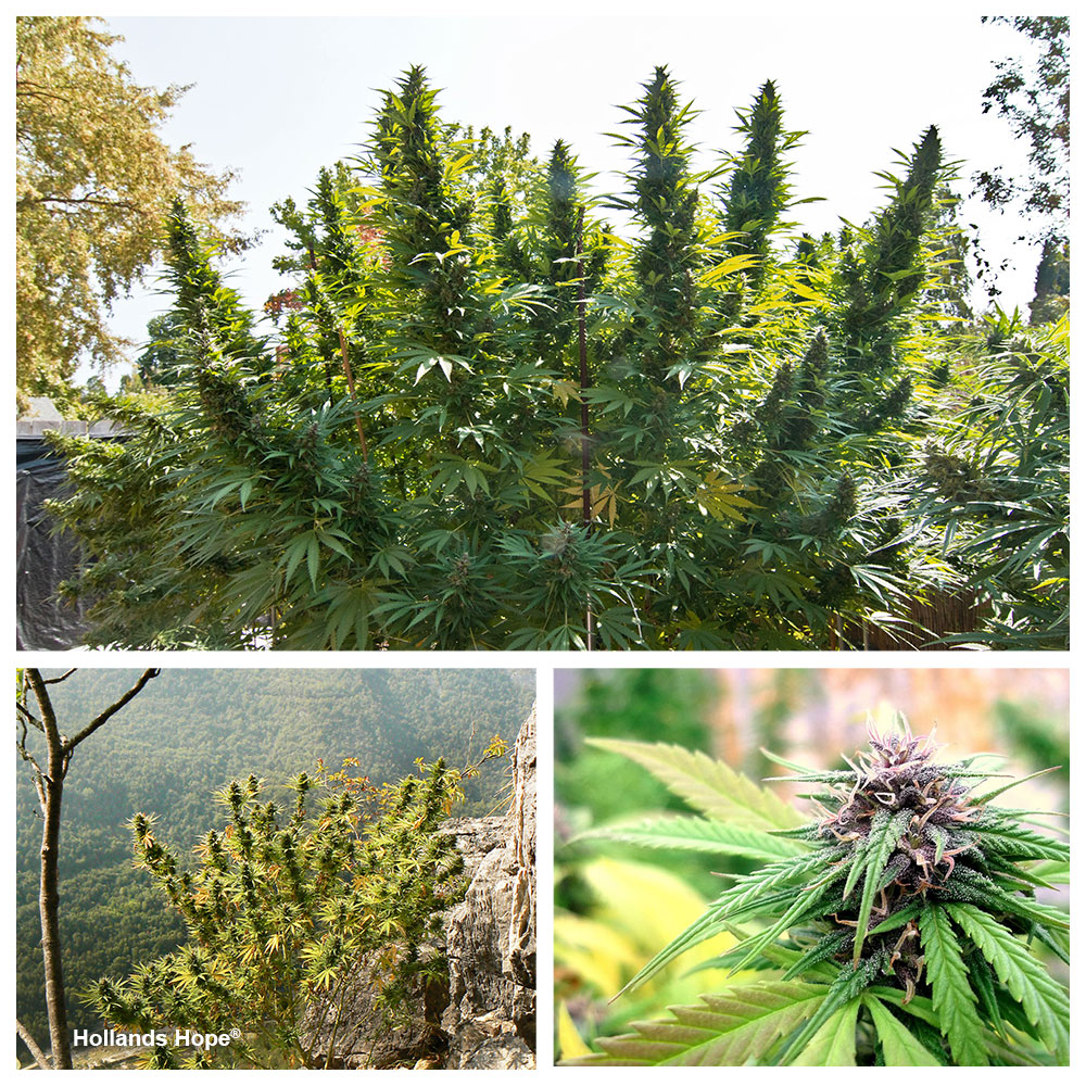Hollands Hope outdoor feminised cannabis growing