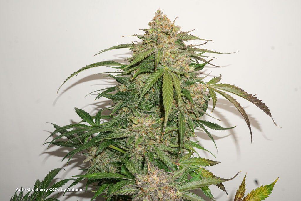 Auto Glueberry OG grow report autoflower cannabis seeds autoflowering big bud frosty flowering
