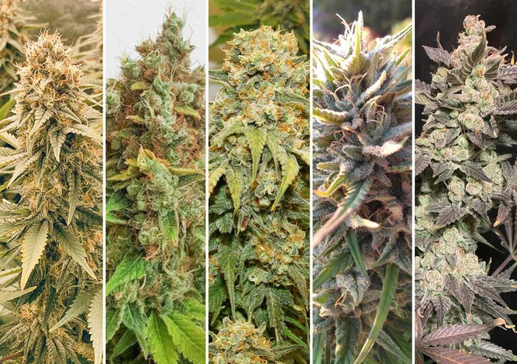 Hot and humid climate cannabis growing