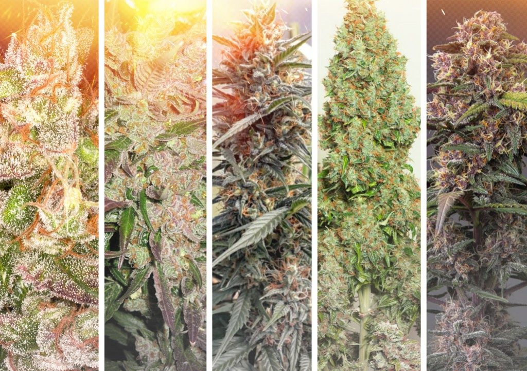 Hot and dry climate cannabis growing