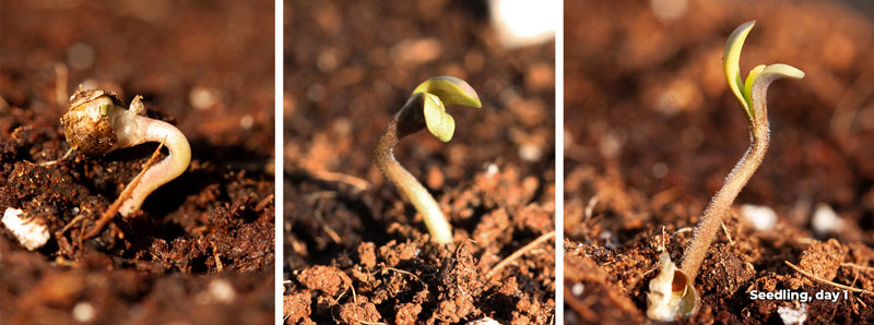 Cannabis seedling stage day 1