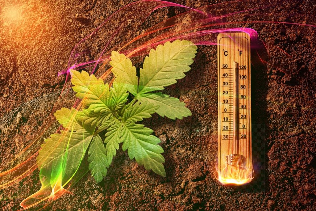 How to grow cannabis in hot climates